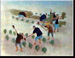 前作麦の刈取