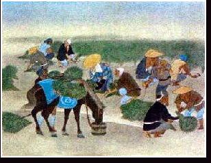 藍葉の収穫